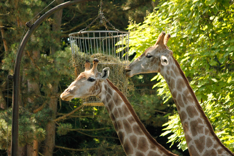 Foto: fressende Giraffen