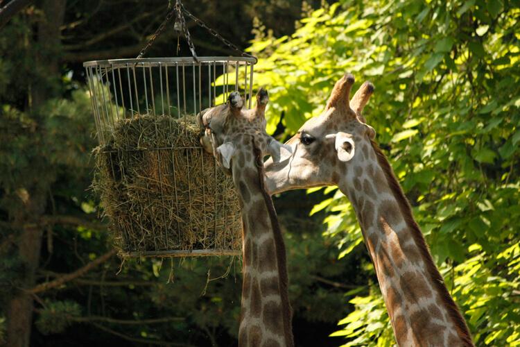 Foto: Giraffen am Futterkorb