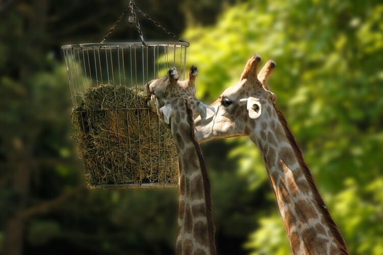 Foto: Giraffen am Futterkorb bearbeitet