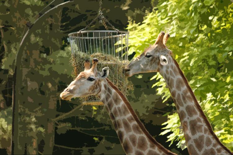 Hintergrund unscharf maskieren bei den fressenden Giraffen
