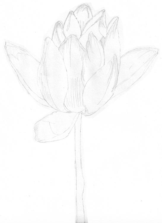 Seerose Bleistiftzeichnung