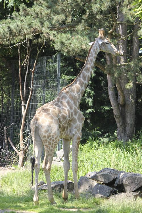 Foto einer Giraffe im Original