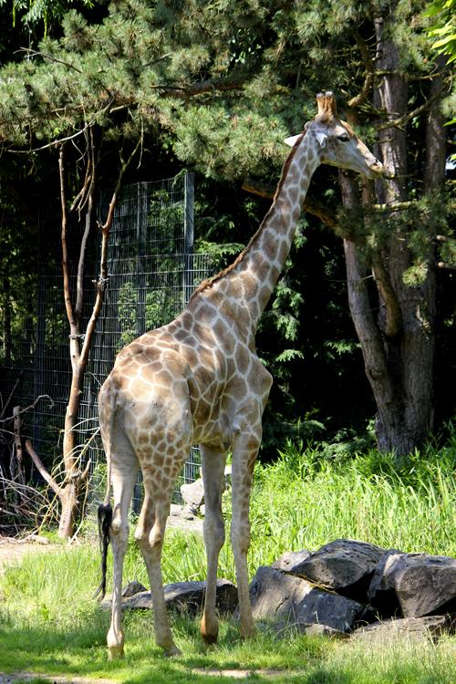 Mit Tonwertkorrektur in Photoshop bearbeitetes Foto einer Giraffe