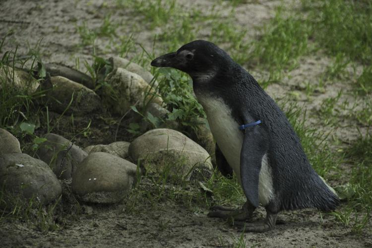 Foto eines Pinguins im Original