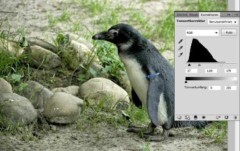 Foto eines Pinguins: Tonwertkorrektur anwenden