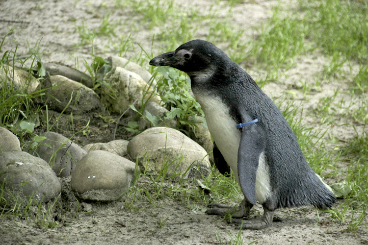 Foto eines Pinguins nach der Tonwertkorrektur