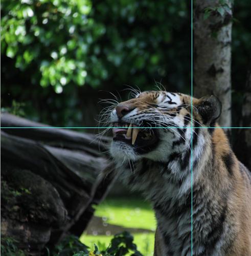 Foto Tiger: Anschnitt mit Hilfslinien