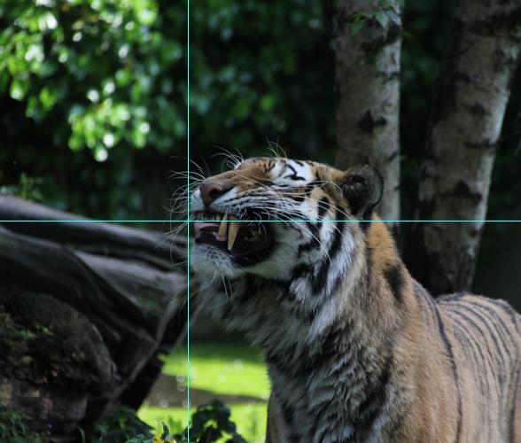 Foto Tiger: Bildausschnitt goldener Schnitt mit Hilfslinien