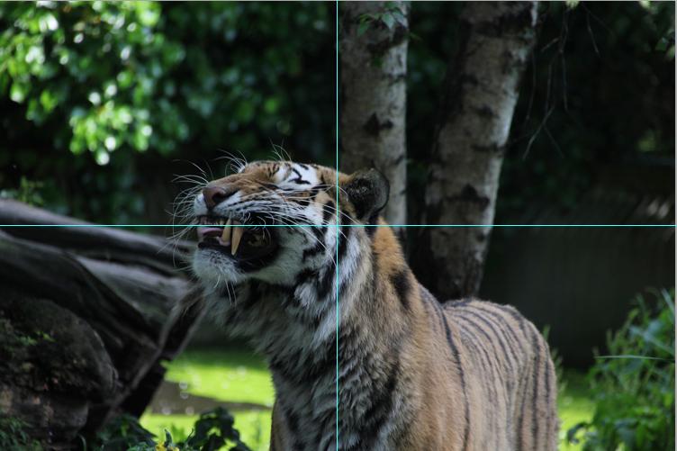 Original Foto Tiger mit Hilfslinien