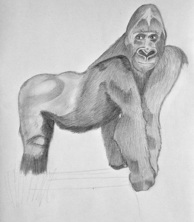 Gorilla Bleistiftzeichnung 14