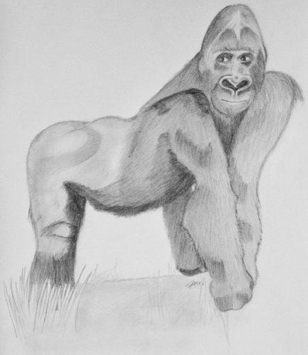 Gorilla Bleistiftzeichnung 15