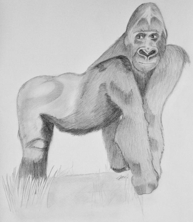 Fertige Gorilla Bleistiftzeichnung
