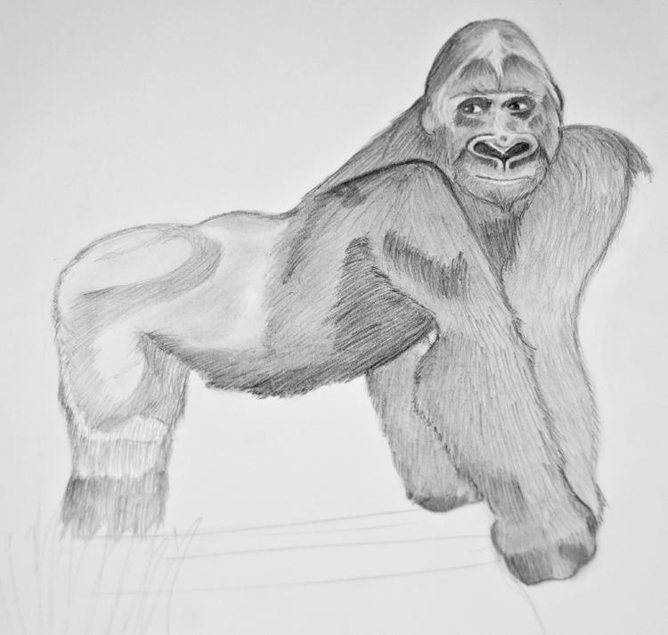 Gorilla Bleistiftzeichnung 9