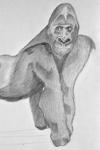 Artikel: Gorilla zeichnen