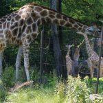 Foto einer fressenden Giraffe