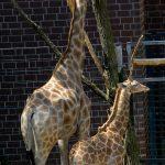 Giraffenmutter mit Baby