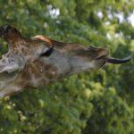 Giraffe beim Fressen
