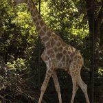 Laufende Giraffe im Zoo