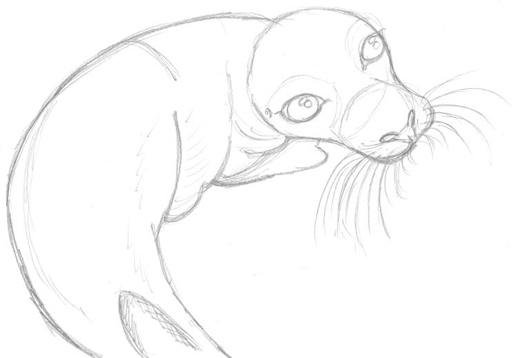 Seehund zeichnen: Bleistiftskizze Robbe 3