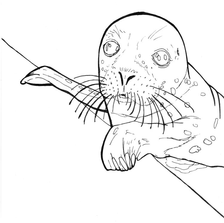 Seehund Zeichnung