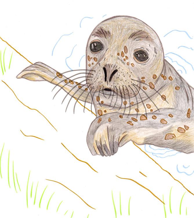 Seehund Zeichnung 1