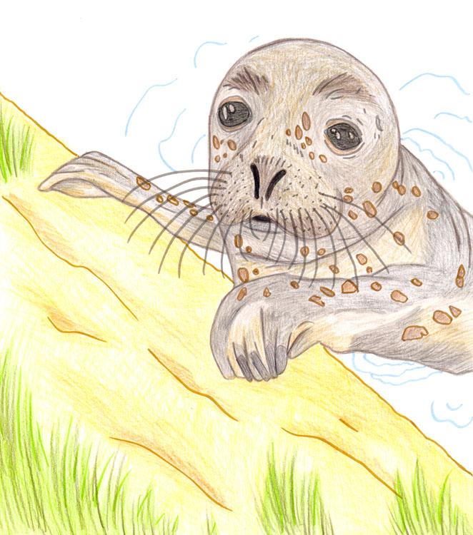 Seehund Zeichnung 2