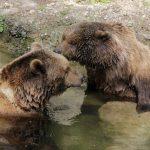 Fotovorlage: 2 Braunbären im bzw. am Wasser