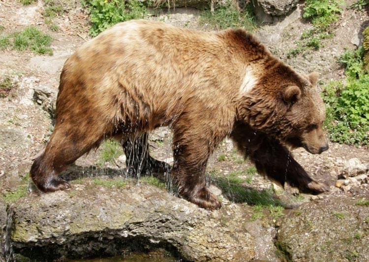 Fotovorlage: nasser Braunbär