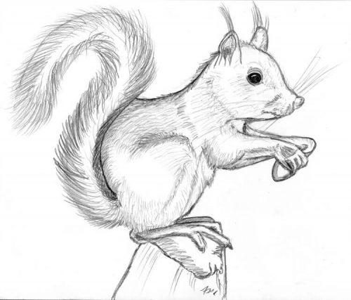 Bleistiftzeichnung: Eichhoernchen