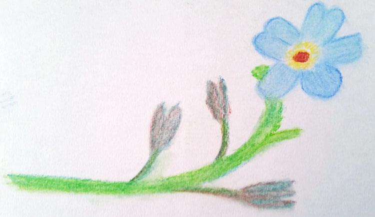 Pastellzeichnung: Blume Vergissmeinicht