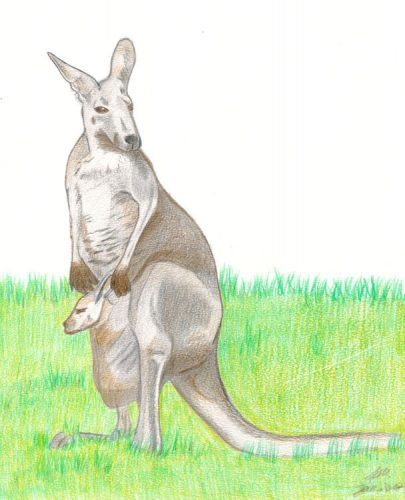 Kängurubild