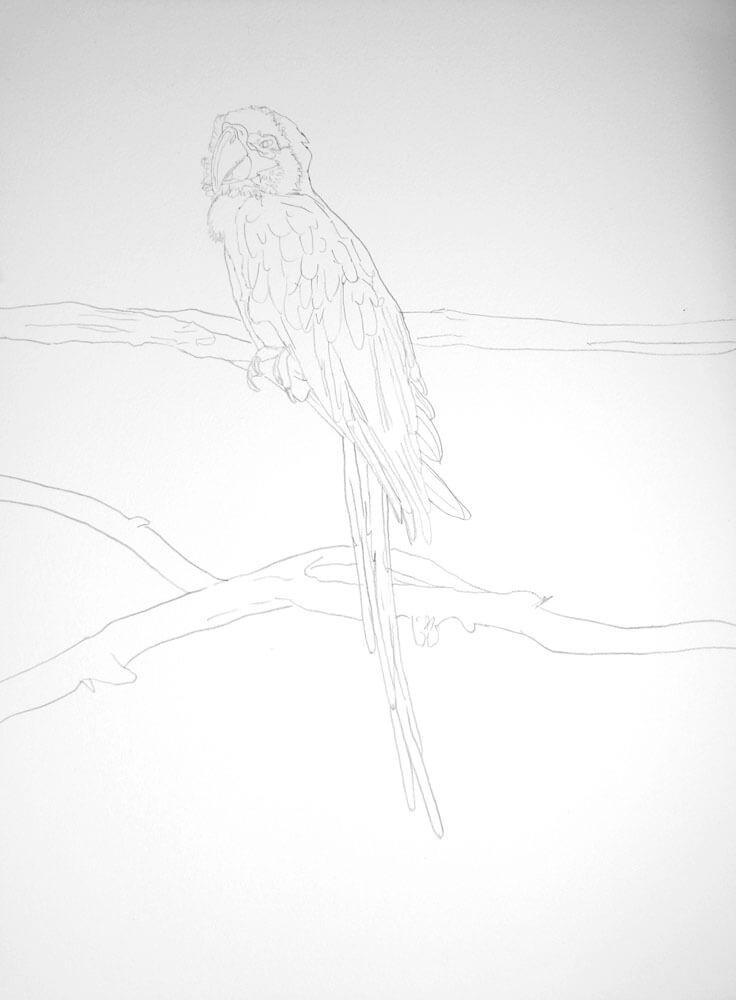 Papagei Bleistiftzeichnung