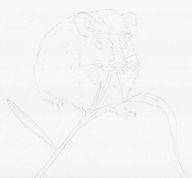 Meerschweinchen zeichnen - Skizze