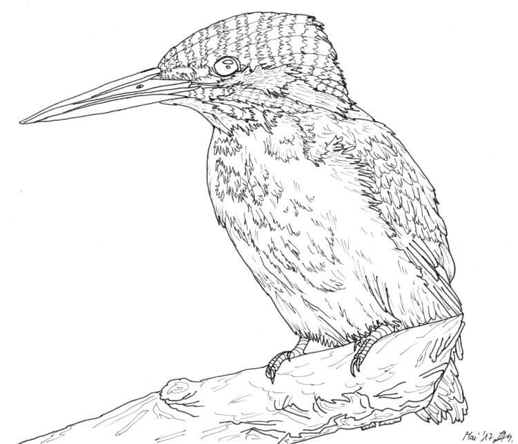 Eisvogel zeichnen Tuschezeichnung