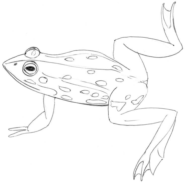 Frosch Frosch Malvorlagen Frosch Zeichnung Ausmalen 3