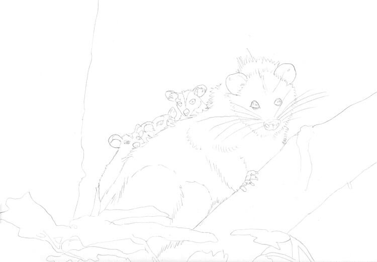 Tier ABC - Opossum zeichnen Skizze