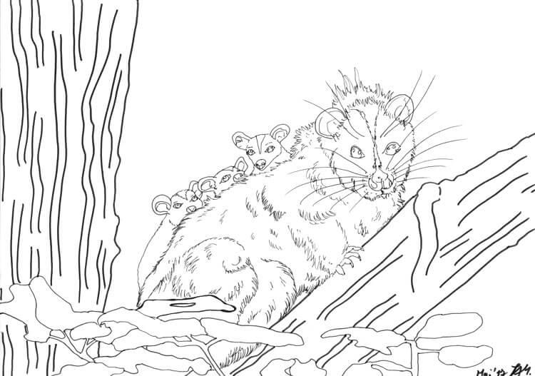 Tier ABC - Opossum zeichnen Tuschekonturen