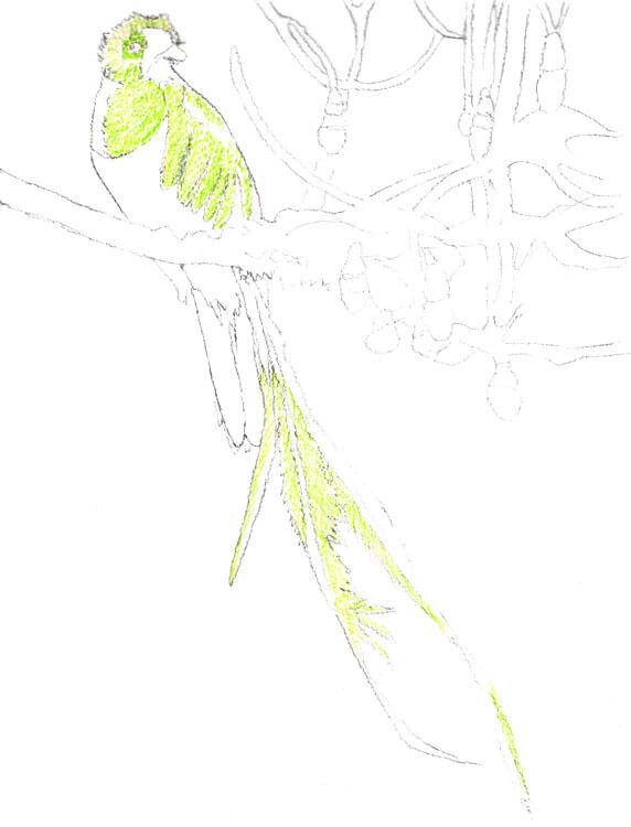 Quetzal Kolorierung mit Aquarellbuntstift 1