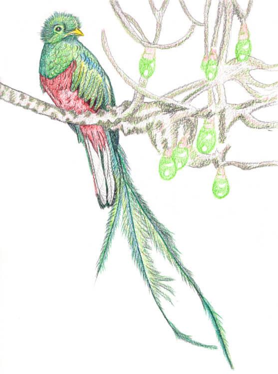 Quetzal Kolorierung mit Aquarellbuntstift 10