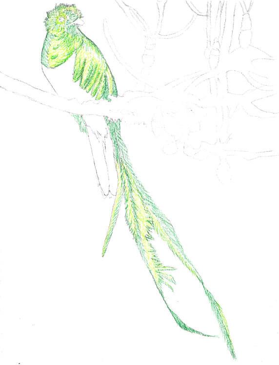 Quetzal Kolorierung mit Aquarellbuntstift 2