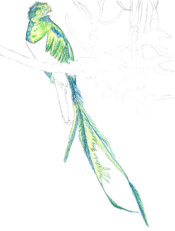 Quetzal Kolorierung mit Aquarellbuntstift 3