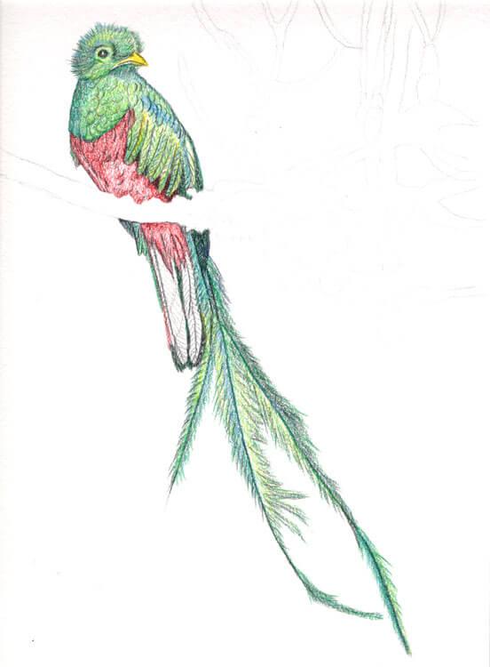 Quetzal Kolorierung mit Aquarellbuntstift 8