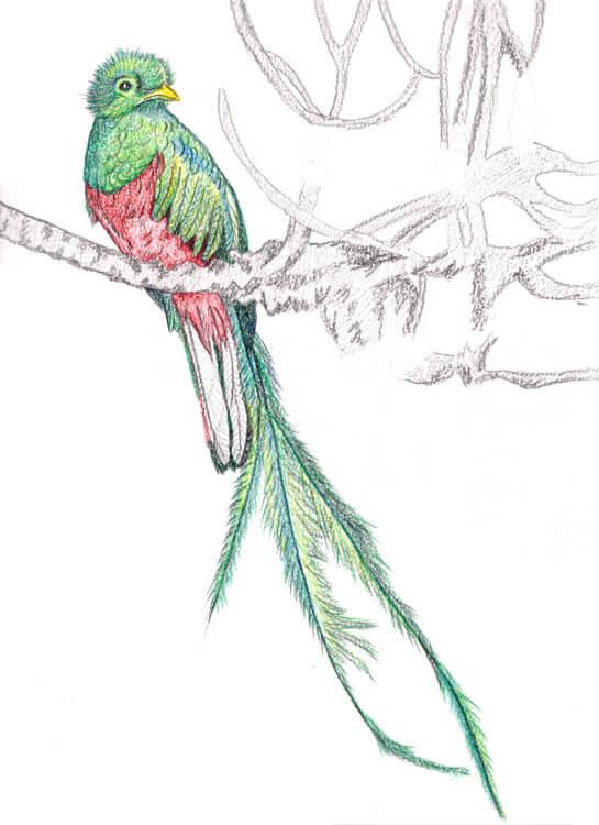 Quetzal Kolorierung mit Aquarellbuntstift 9