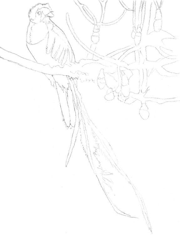 Quetzal zeichnen - Bleistiftskizze