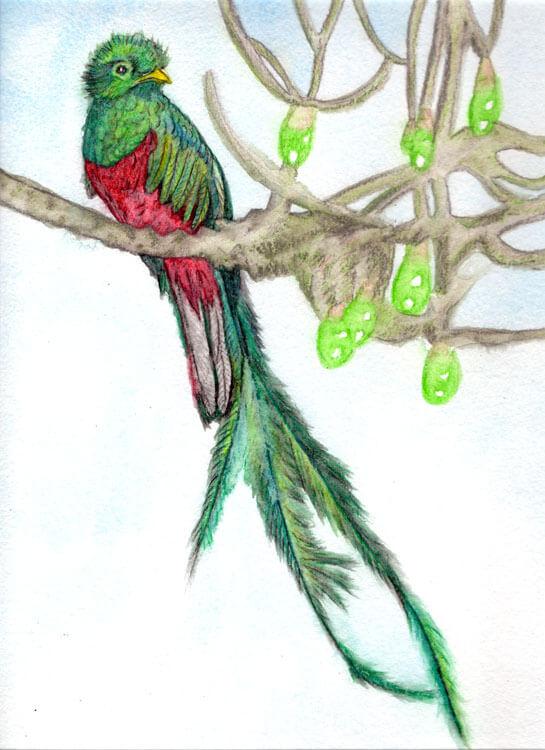 Quetzal mit Aquarellbuntstiften malen