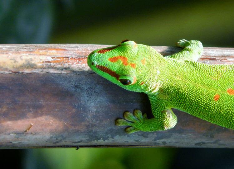 Fotovorlage Gecko