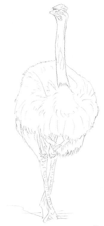 Vogel Strauß - Kolorierung 1