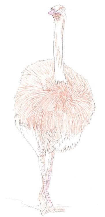 Vogel Strauß - Kolorierung 2