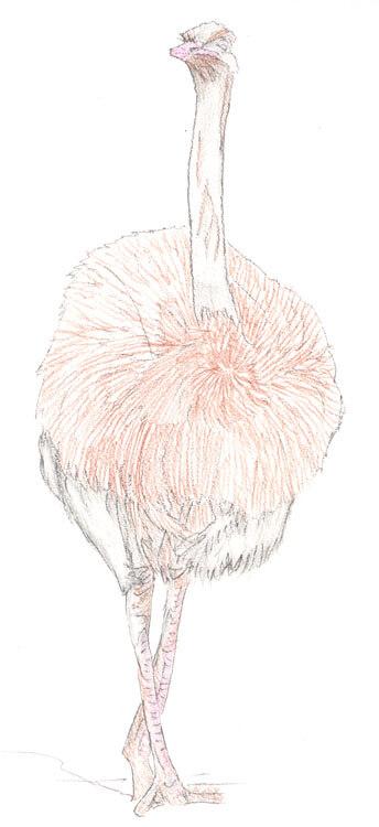 Vogel Strauß - Kolorierung 3