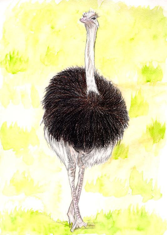 Vogel Strauß - Kolorierung Hintergrund 2